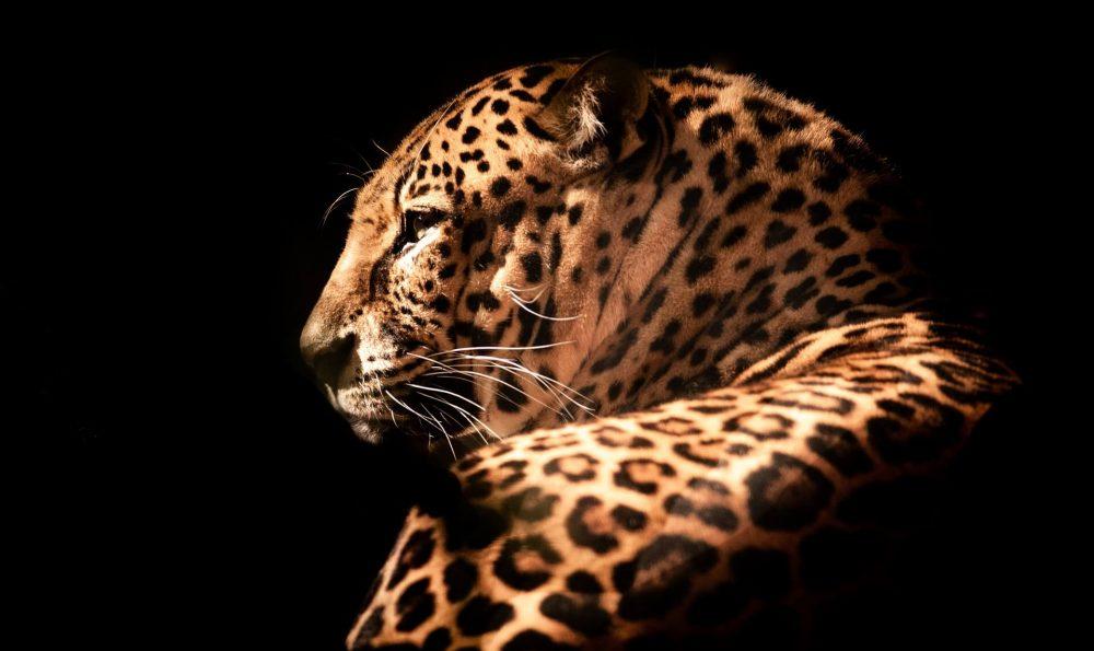 やっぱり豹が好き